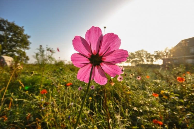 pink-wildflower-in-meadow-750x499